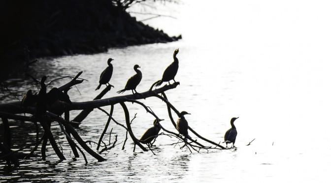 Cormorants in the Setting Sun