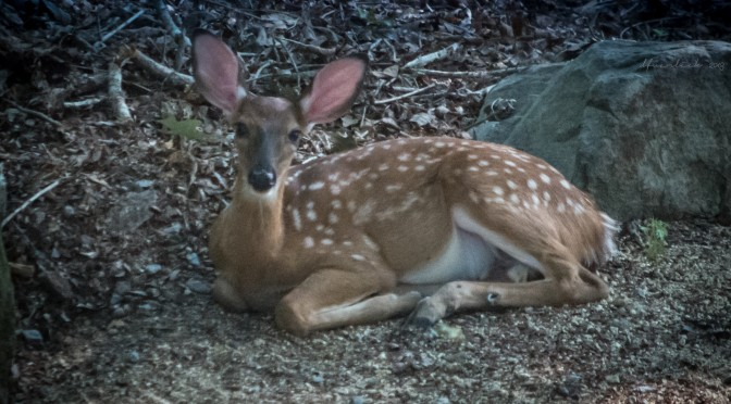 Resting Fawn